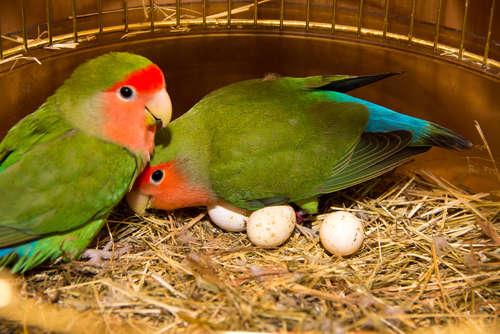インコの産卵について