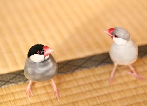 文鳥と上手に付き合うために