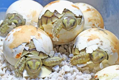 ミズガメが有精卵を産んだ場合